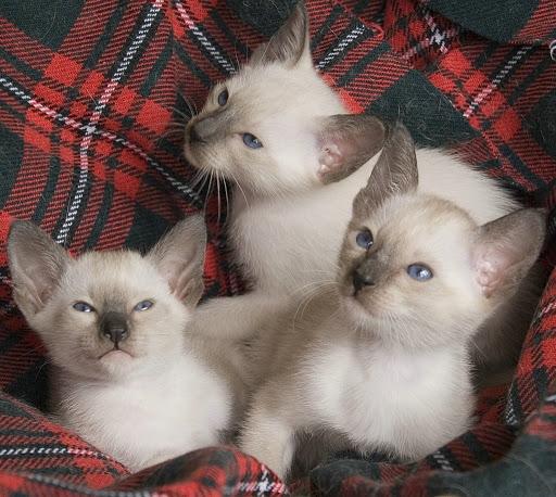 Siamese cat for sale  near me