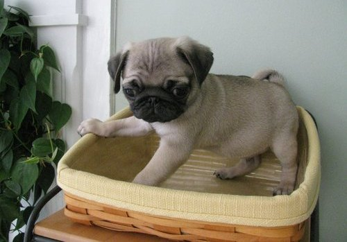 Pug Puppies for sale near me, Cheap Pugs For Sale